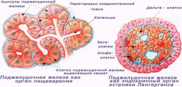 поджелудочная железа гормон инсулин