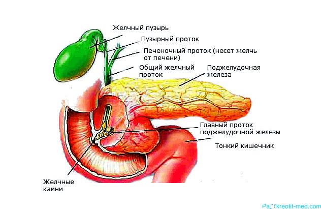 Поджелудочная железа где находится и как болит
