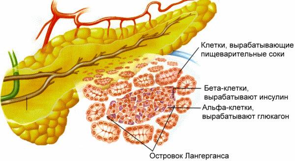 Поджелудочная железа: анатомия и физиология