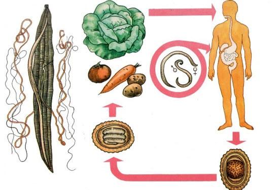какие паразиты живут в печени человека