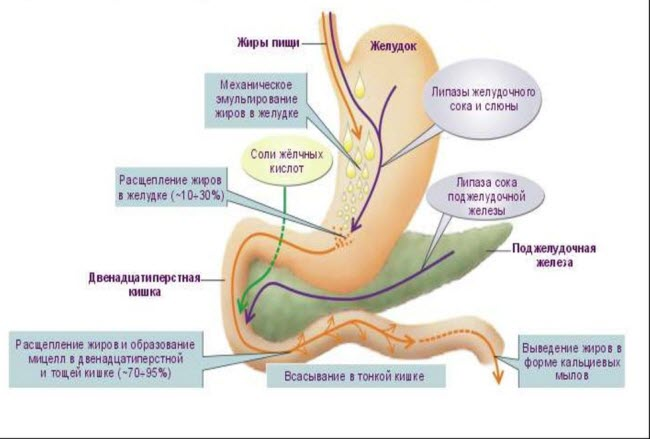 Анализы на ферменты поджелудочной железы