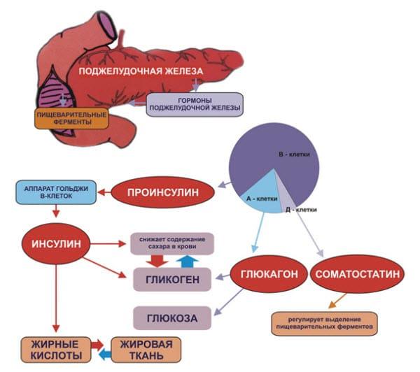 Функции поджелудочной железы в организме человека